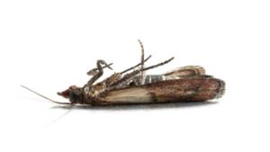 lebensmittelmotten bek mpfen mit schlupfwespen. Black Bedroom Furniture Sets. Home Design Ideas