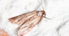 Mehlmotte Ephestia kuehniella