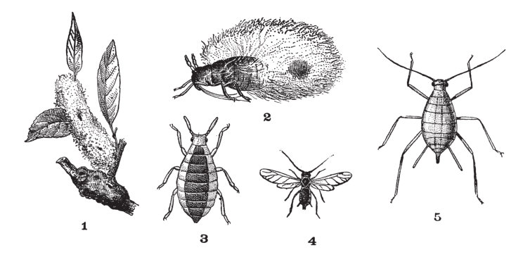 Blattläusearten