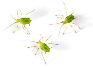 Grüne Blattläuse