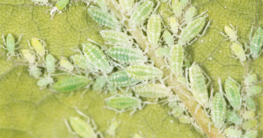 Pflanze mit Blattläusen