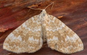 Sandy Perizoma Flavofasciata Teppich Motten
